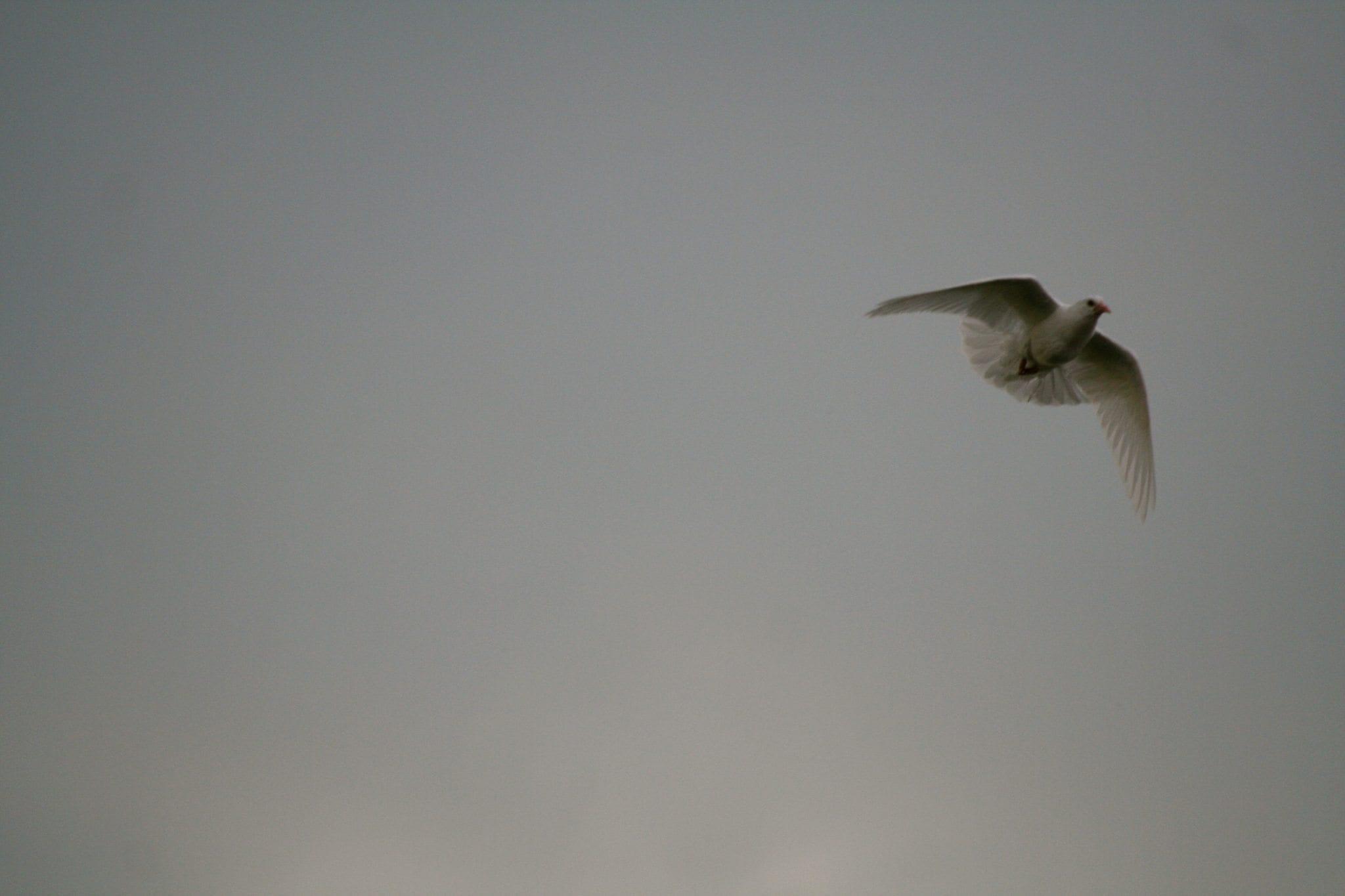 GraceSpace and White Dove